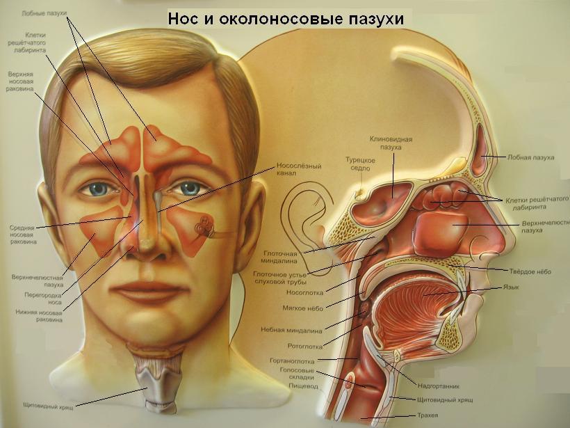 анатомия носа фото